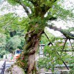 柏原(かいばら)の大ケヤキ ※木の根橋の大ケヤキ